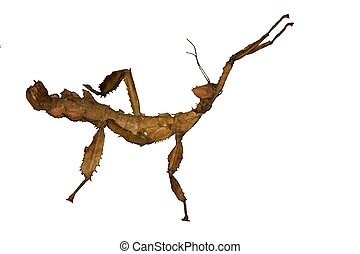 Giant Australian Prickly Stick Insect . isolated on white