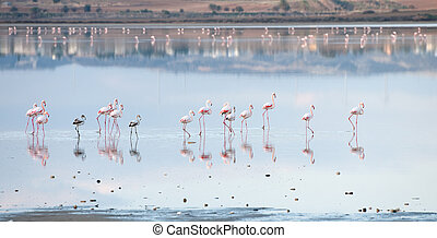 gyalogló,  Flamingó, csoport, Tó, madarak