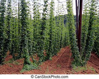 black pepper farm in Europe - black pepper farm argicultural...