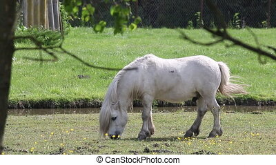 white pony horse grazing