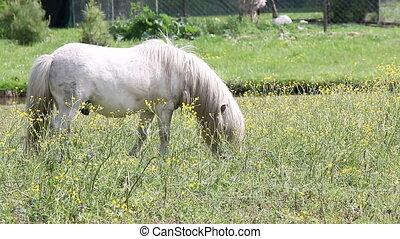 white pony horse