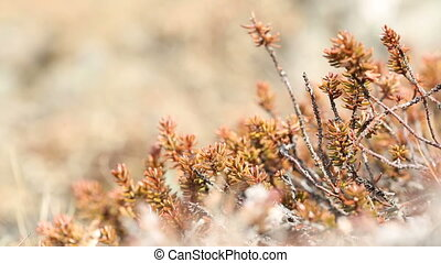 Shrubs in spring - Red and brown shrubs in the wind