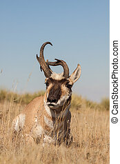 Pronghorn Antelope Buck - a pronghorn antelope buck with...