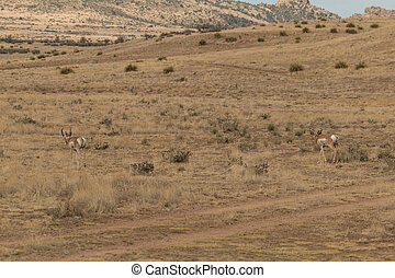 Pronghorn Antelope - a herd of pronghorn antelope on the...