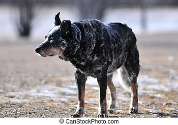 Blue heeler on the farm
