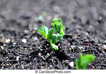 Pea Sprout - Pea plant just breaking ground