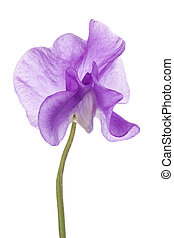 sweet pea - Studio Shot of Fuchsia Colored Sweet Pea Flower...