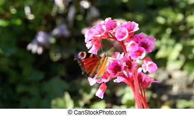 Butterfly on a pink flower in sprin