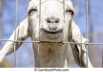 Smiling Goat - Smiling Kinder Goat peers through the fence