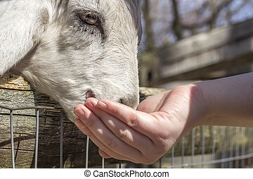 Feeding Goat - Feeding a small goat at a petting zoo in...