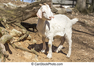 Goat Farm - Kinder Goat playing in farm pen in early...