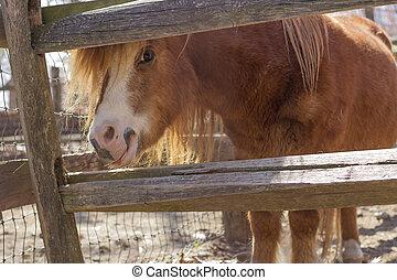 brauner,  pony
