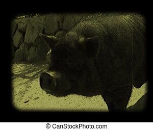 close-up scenes at barnyard - close-up piggies and goats at...