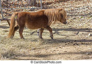 Brown Pony - Brown pony tiptoes through farm yard in wide...