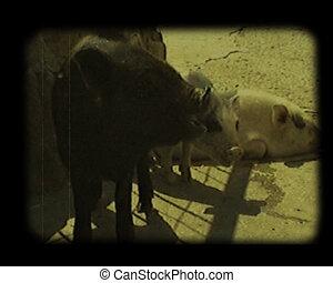 close-up scenes at barnyard - close-up small piggies at...