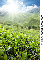 tea farm in Cameron Highlands on sunny day