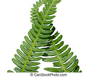 Two green crossed frond ferns as background
