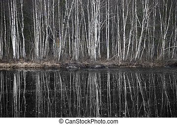Birch trees by dark river - Bare birch trees reflected in...