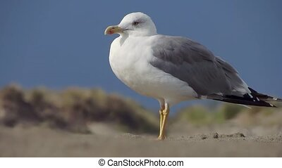 a walking gull - sea gull portrait close up over a blue sky