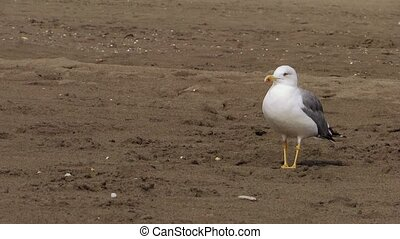 a walking gull - sea gull at the beach