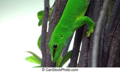 Gecko - gold dust day gecko close up