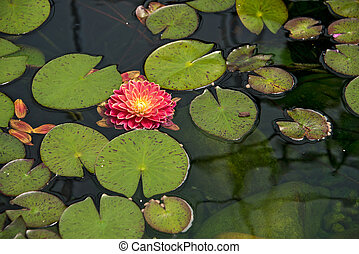 dahlia in lily pads - Red dahlia floating in a pond with...
