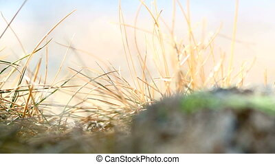 Closeup of grasses in the wind, 1 - Closeup of grasses in...