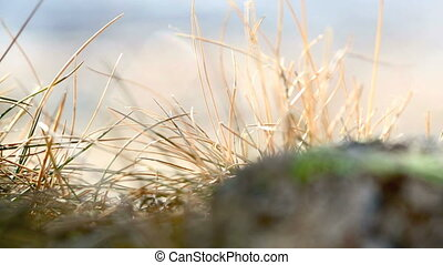 Closeup of grasses in the wind, 2 - Closeup of grasses in...