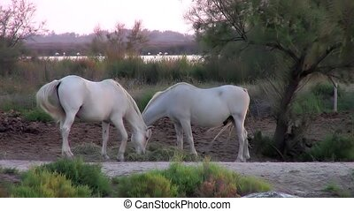 camargue horses - Camargue. Farmland. Beautiful white...