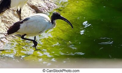 sacred ibis - Ibis finds its food by rooting around in the...