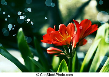 Flower Bouquet of Lily Clivia close up card isolated on...