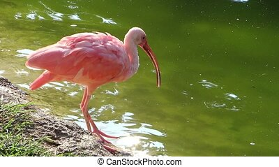 red ibis - Ibis finds its food by rooting around in the mud...