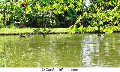 Ducks Swimming lake with lush gree