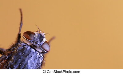 Housefly magnification - House fly isolated on beige...