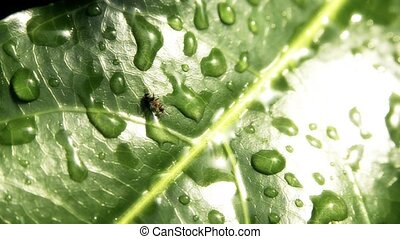 running ant - ant on a leaf