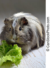 brown guinea pig and salad leaf