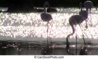 flamingos at sunset, backlight - pink flamingos colony