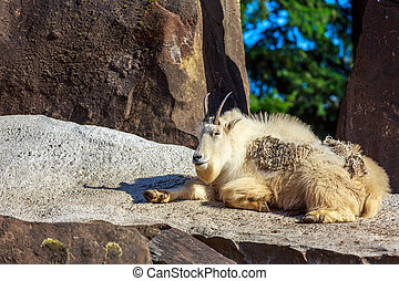 Mountain Goat - A mountain goat sunbathing on the rock, with...