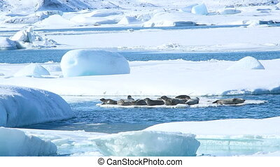 Seals swimming on an ice floe part3 - Several seals swimming...