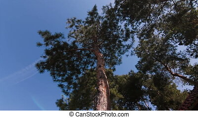 pine trees blue sky wide shot view from the bottom - pine...