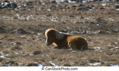 Laid brown Icelandic horse withstan - Laid brown Icelandic...