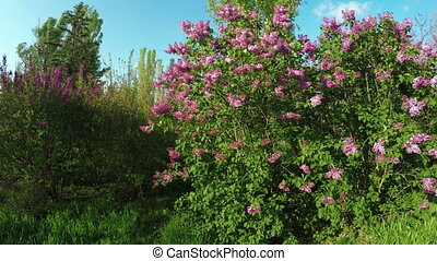 Blossoming lilac - In spring garden flowering tree lilac
