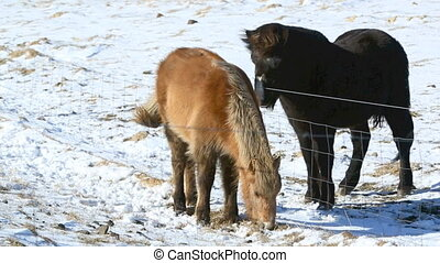 Two Icelandic horse on a meadow