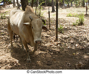 Cow in the jungles of India Goa