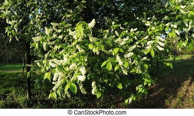 Blooming Jasmine - In spring garden Blooming Jasmine