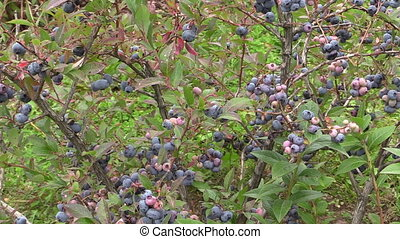 blueberry bush plant - Blueberry berry bush grow in garden...