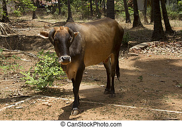 Brown cow lies on the ground India, Goa - Brown cow lies on...