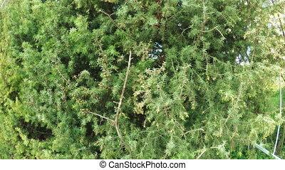 Juniper in garden