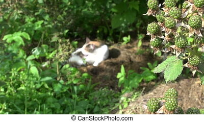 dewberry and cat - Black dewberry berry bunch move in wind...
