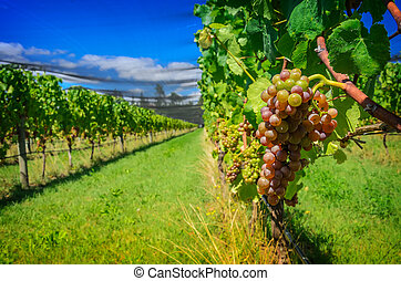 Sweet and tasty grape bunch on the vine